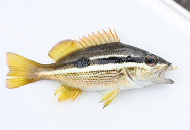 ヨコスジフエダイの幼魚