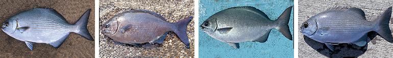 イスズミ科の魚4種