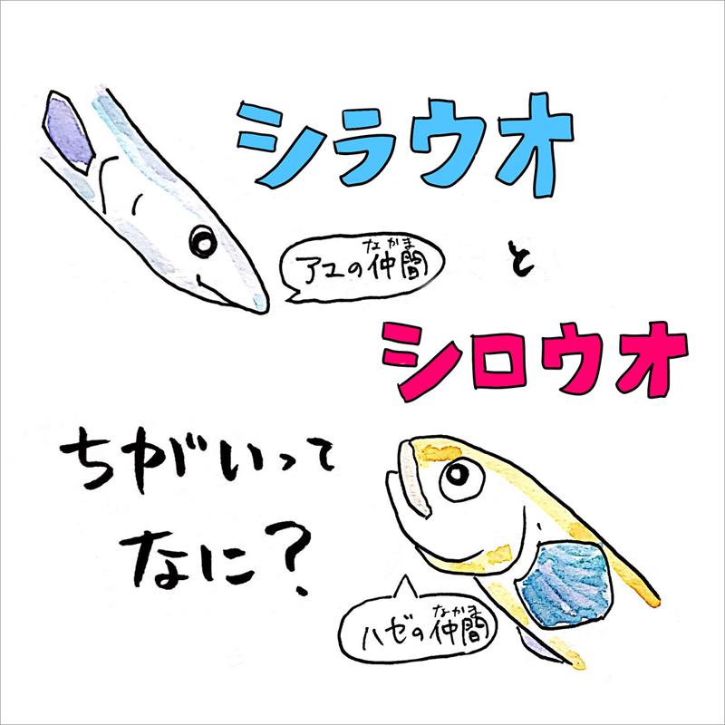 01_シラウオとシロウオ