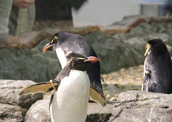 kaiyukan_06_ペンギン