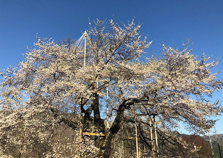 22_荘川桜