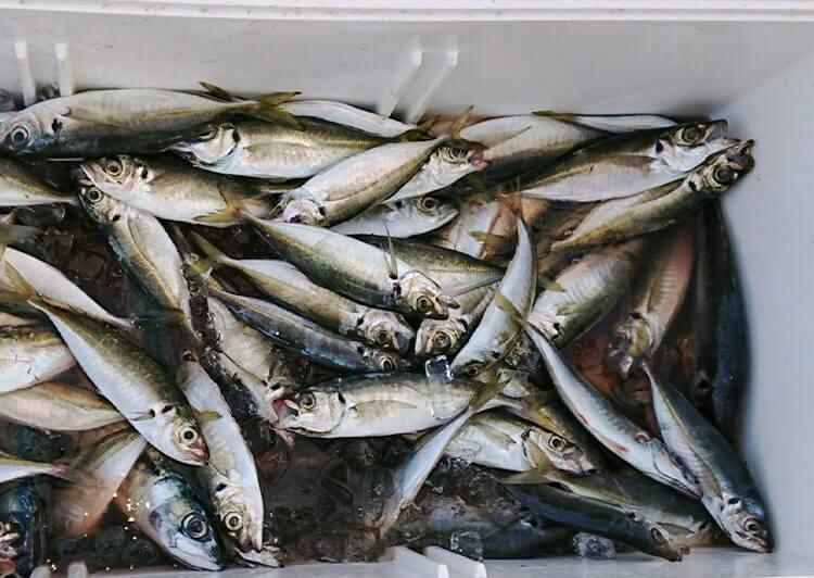 05_ クーラーボックス内の魚