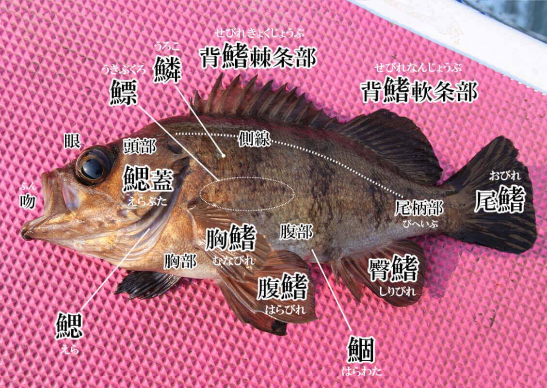 知って得する 魚へんの漢字 魚の部位にまつわる魚漢字トリビア From Heat The Web Director Webマガジン Heat