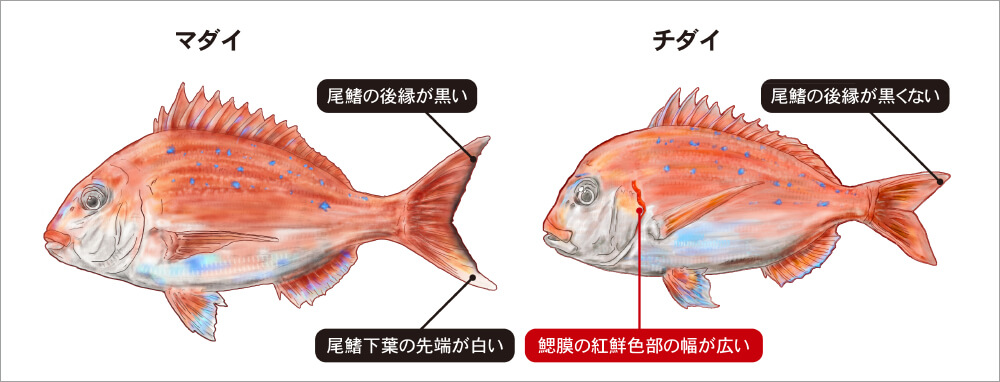 02_illustマダイの見分け方.jpg マダイの見分け方