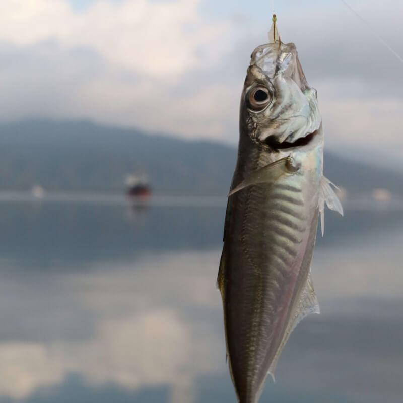 サビキで釣れたアジ