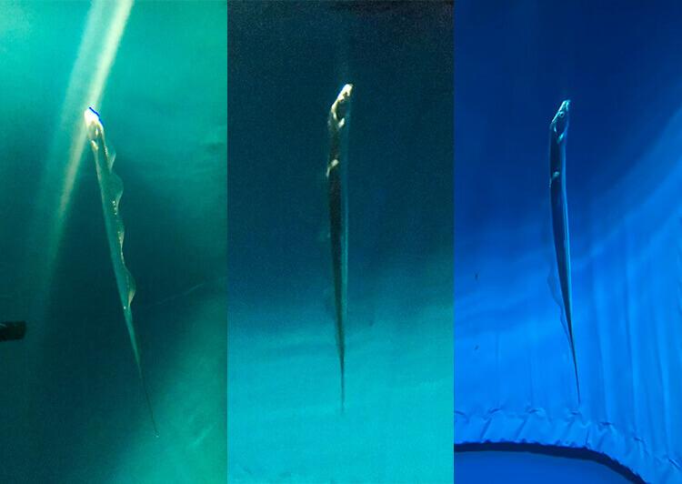 05_ 立ち泳ぎをするタチウオ