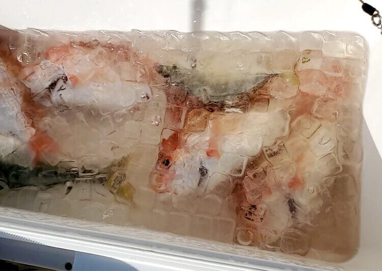 06_釣れた魚は潮氷に
