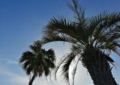 01_IMG_2665 フェニックスの木