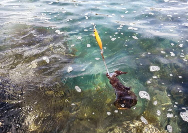 08_IMG_2700 藻場から飛びついたアオリイカ